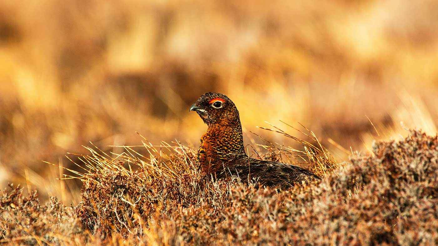 Hearing Protection for Grouse Hunting  – Tips and Key Features