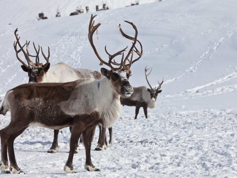 Best Ear Protection for Hunting Caribou